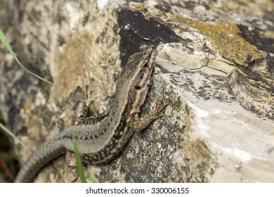 Common wall lizard (Podarcis muralis) from Germany, Europe
