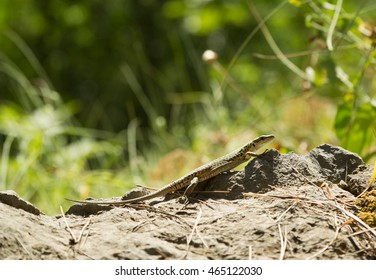 A common wall lizard (podarcis muralis) basking in the sun.