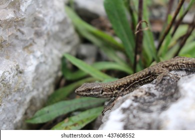 """""""Common Wall Lizard""""(or European Wall Lizard) in Innsbruck, Austria. Its Latin name is Podarcis Muralis, native to southern and central Europe and northeastern Asia."""