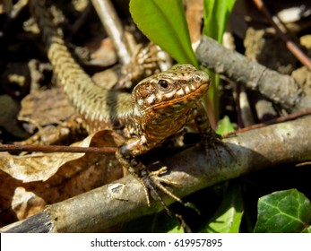 Common wall lizzard (Podarcis muralis)