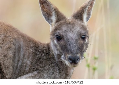 Common Wallaroo (Macropus robustus).  A species of macropod intermediate in size between a kangaroo and a wallaby. Davies Creek, Queensland, Australia.