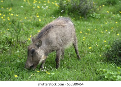 Common Warthog, Addo Elephant National Park, Eastern Cape, South Africa