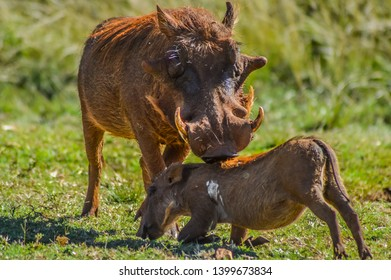 Common Warthog interacting and playing in a South African game reserve