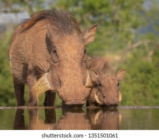 Common Warthog mother with piglet in the wild
