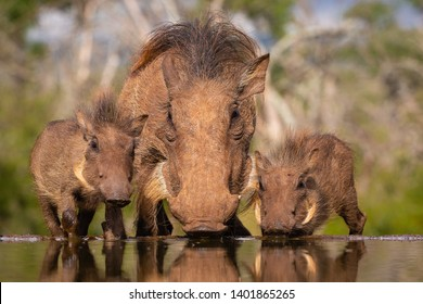 Common Warthog mother with two piglets drinking