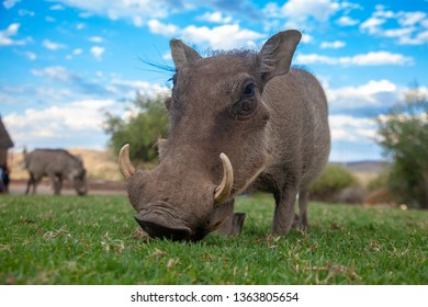 common warthog national parks of namibia between desert and savannah africa