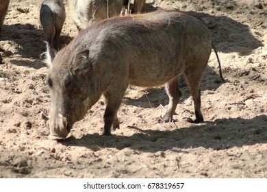 The common warthog (Phacochoerus africanus)