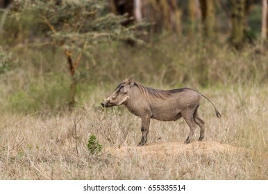 Common Warthog - Phacochoerus africanus in the African plains