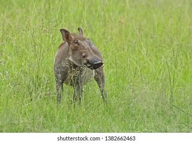 Common Warthog (Phacochoerus africanus massaicus) immature standing on grass
