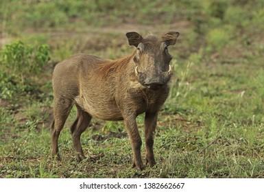 Common Warthog (Phacochoerus africanus massaicus) adult female standing on grass