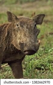Common Warthog (Phacochoerus africanus massaicus) close up of adult female
