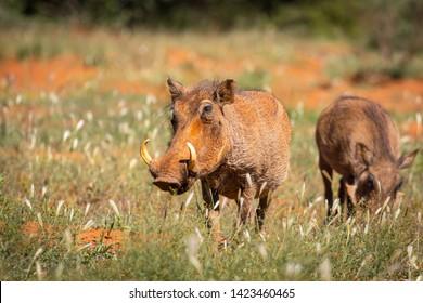 common warthog (Phacochoerus africanus) in Namibia