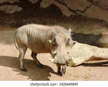 The common warthog (Phacochoerus africanus) near rocks