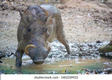 Common warthog stands in the  Mud pond. The common warthog (Phacochoerus africanus) is a wild member of the pig family (Suidae) found in grassland, savanna, and woodland in sub-Saharan Africa