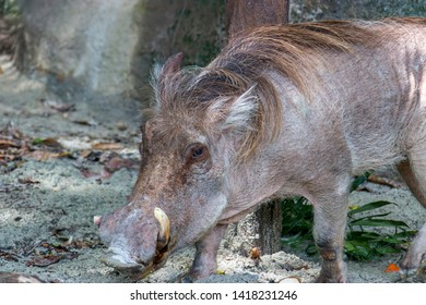 Common warthog stands on the ground. The common warthog (Phacochoerus africanus) is a wild member of the pig family (Suidae) found in grassland, savanna, and woodland in sub-Saharan Africa