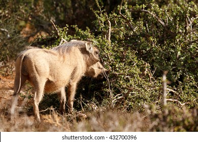 The common warthog is a wild member of the pig family found in grassland, savanna, and woodland in sub-Saharan Africa.