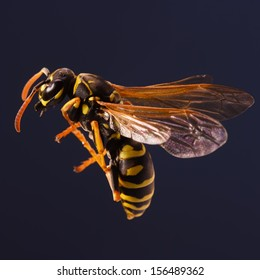 The common wasp can sting multiple times.