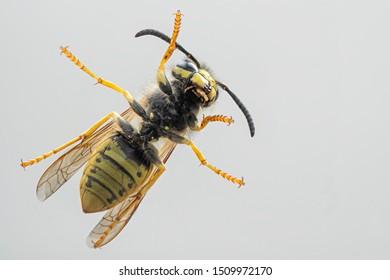 Common wasp. Detail of black and yellow europian wasp. Vespula vulgaris