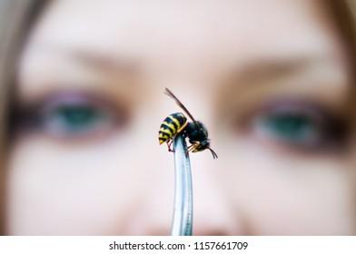 Common Wasp, Wasp Vespula vulgaris
