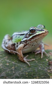 common water frog