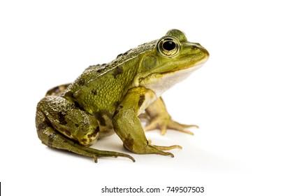 백색 앞 개구리