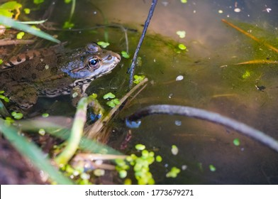 A common water frog (Rana esculenta or Pelophylax esculentus) immersed and floating among aquatic plants in the green stagnant water of a puddle, in Midi-Pyrénées, Southwestern France