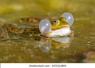 Common water frog (Rana kl. esculenta) swimming in a pond with sound bubble, wildlife, Germany