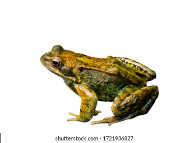 Common Water Frog in side isolated on white. dicut save in jpg file clipping paths.