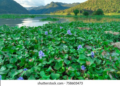 Common water hyacinth,Purple flowers on water,Eichhornia crassipes,Aquatic plant native to the Amazon basin,Highly problematic invasive species outside its native range.Water pollution plant.