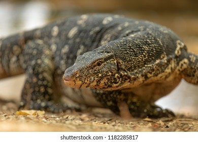 common water monitor, Varanus salvator, in detail