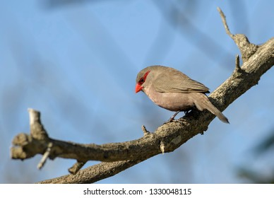 Common Waxbill - Estrilda astrild, beautiful small perching bird with red beak from African gardens and bushes, Swakopmund, Namibia.