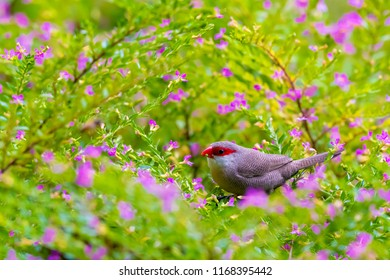 the common waxbill (Estrilda astrild), also known as the St Helena waxbill, is a small passerine bird belonging to the estrildid finch family