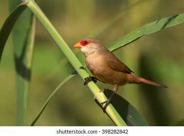 Common Waxbill, Estrilda astrild, small colorful african bird with red beak and red eye stripe perched on a green reed stem. Madeira Island.