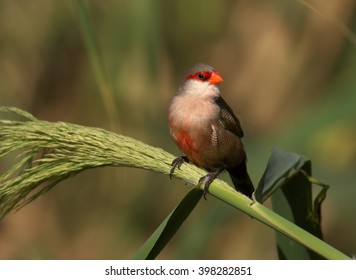 Common Waxbill, Estrilda astrild, small colorful african bird with red beak and red eye stripe perched on a green reed stem against blurred background. Madeira Island.