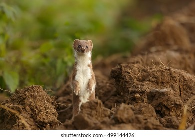 A Common Weasel (Mustela nivalis) also known as Least Weasel standing alert in a ploughed field, looking at the camera, against a partially blurred background, East Yorkshire, UK