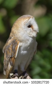 Common or Western Barn Owl latin name Tyto Alba a nocturnal bird of prey found throughout Europe and North Africa