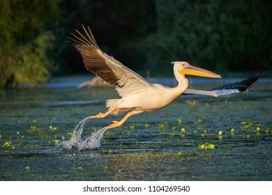 Common white pelican taking off with big water splash from Danube Delta in Romania