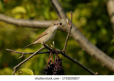 Common whitethroat bird sitting on branch close up