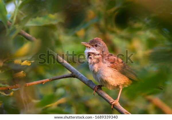 Common whitethroat, Sylvia communis on branch. Common whitethroat bird posing on branch in its natural environment.