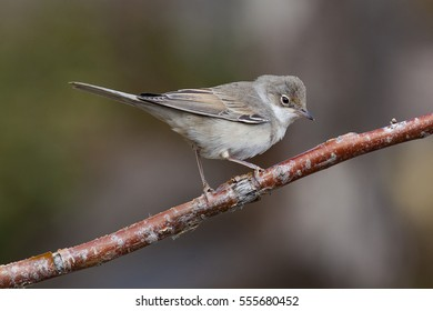 A common white-throat (warbler) on a branch.