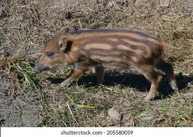 Common wild boar piglet ( marcassin ).