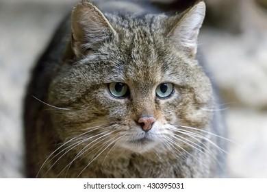 Common Wild Cat