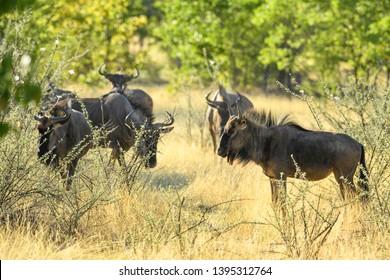 Common Wildebeest - Connochaetes taurinus, common antelope from African savannas and grasslands, Etosha National Park, Namibia.