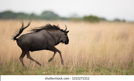 Common Wildebeest running across the plains at Liuwa Plains National Park, Zambia