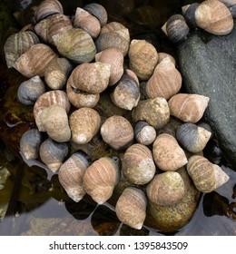 Common Winkle Littorina littorea sea snail marine gastropod mollusc colony, Scotland, UK