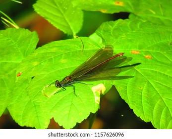 common winter damselfly, Sympecma fusca,