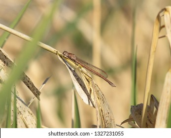 The common winter damselfly - Sympecma fusca - is a damselfly that hibernates and is one of the first species to be found every year.