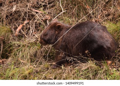 A Common Wombat feeding on green grass in a forest