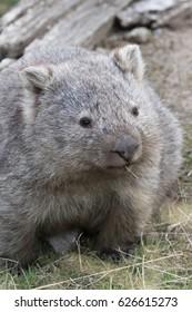 Common wombat (Vombatus ursinus) feeding. Maria Island, Tasmania, Australia.