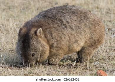 Common wombat (Vombatus ursinus). Maria Island, Tasmania, Australia.